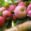 Robuste frugt og bær-sorter