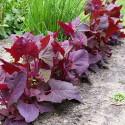 Havemælde – Atriplex hortensis